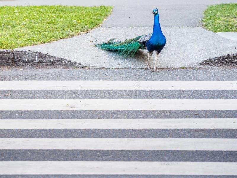 Männlicher Pfau, der die Straße unter Verwendung des Zebrastreifens kreuzt lizenzfreie stockfotos