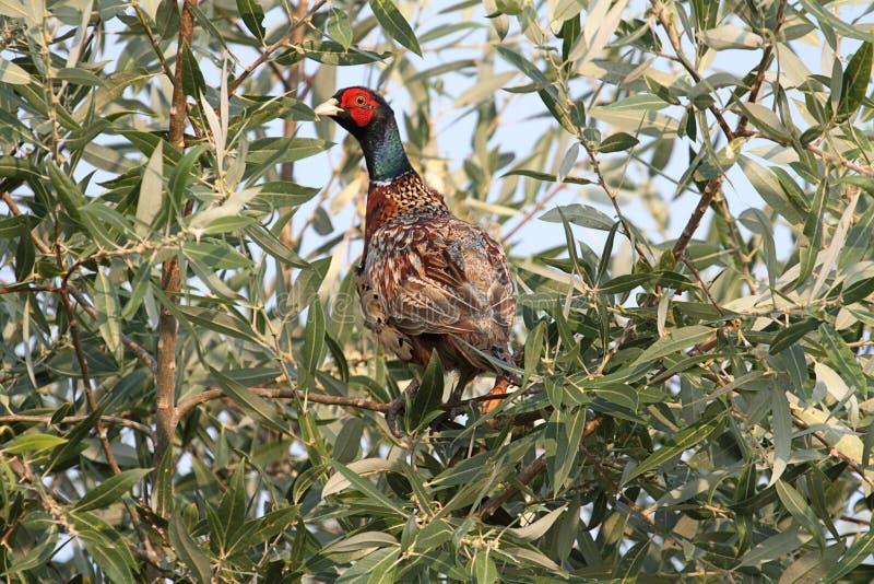 Männlicher Ring-necked Fasan (Phasianus colchicus) stockbilder