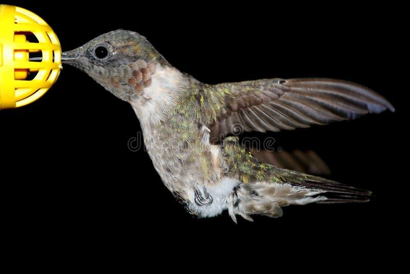 Männlicher Rubin-throated Kolibri lizenzfreies stockfoto
