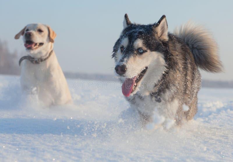 Männlicher Schlittenhund stockfotografie