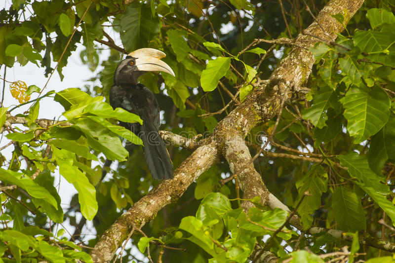 Männlicher schwarzer Hornbill im Feigenbaum lizenzfreies stockfoto