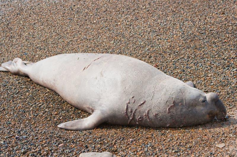 Männlicher Seeelefant lizenzfreies stockfoto