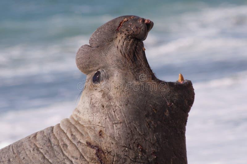Männlicher Seeelefant lizenzfreies stockbild