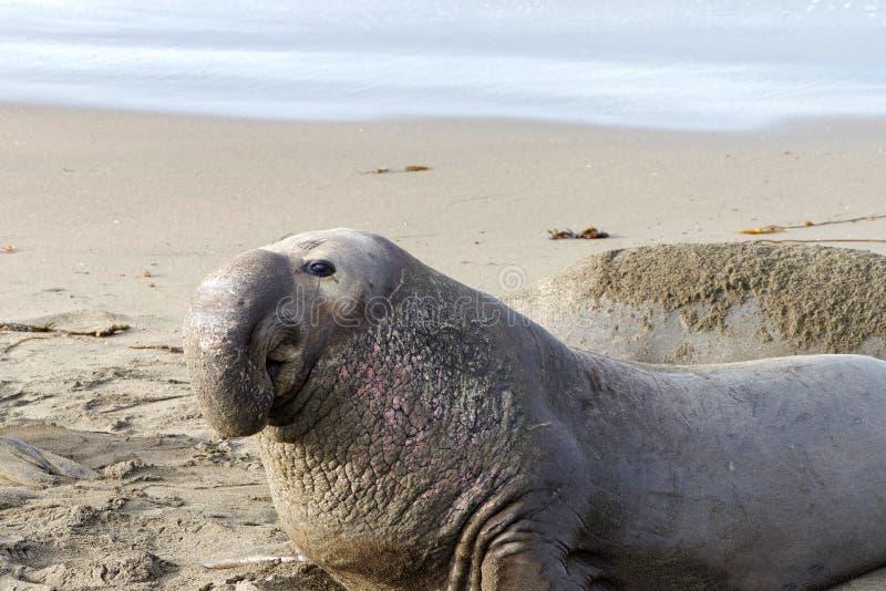Männlicher Seeelefant, der herum auf dem Strand schaut lizenzfreie stockfotos