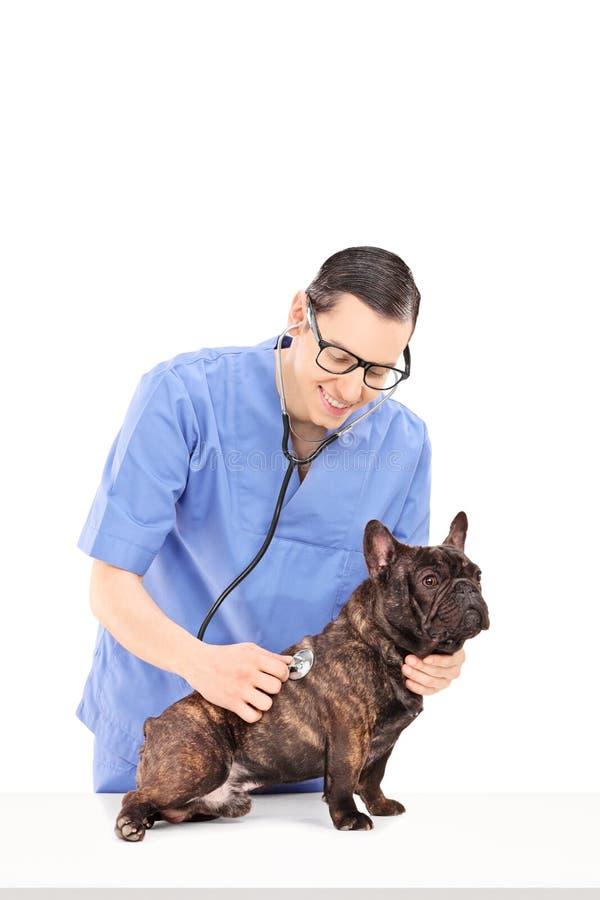 Männlicher Tierarzt, der einen Hund mit Stethoskop überprüft stockfoto