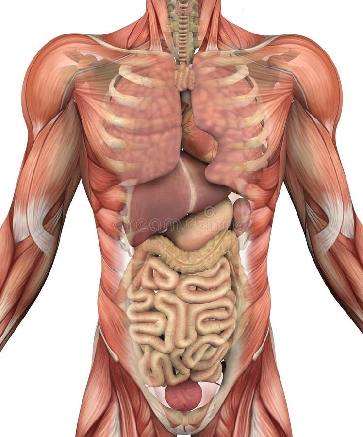 Männlicher Torso mit den Muskeln und den Organen stock abbildung