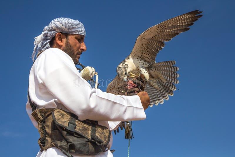Männlicher Würgfalke während eines Falknereiflugzeigunges in Dubai, UAE stockfotografie