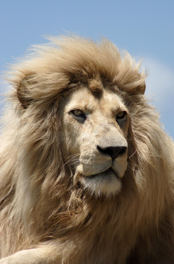 Männlicher weißer Löwe lizenzfreies stockfoto