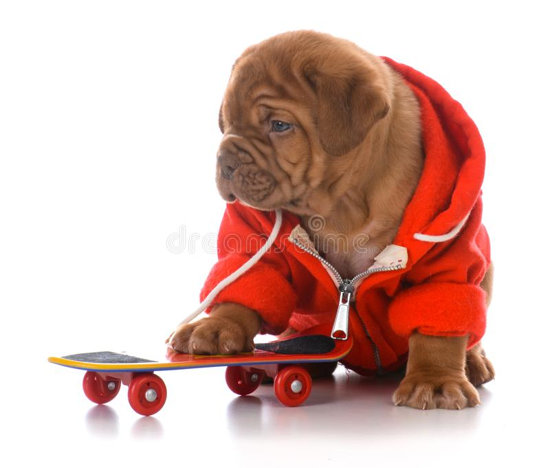 Männlicher Welpe Dogue de bordeaux stockfoto
