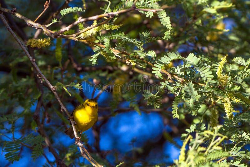 Männlicher Wilson-` s Trällerer in einem Honigsüßhülsenbaumbaum an der Dämmerung im im Voraus bezahlte Leistungs-Ranch-Nationalpa stockfotografie