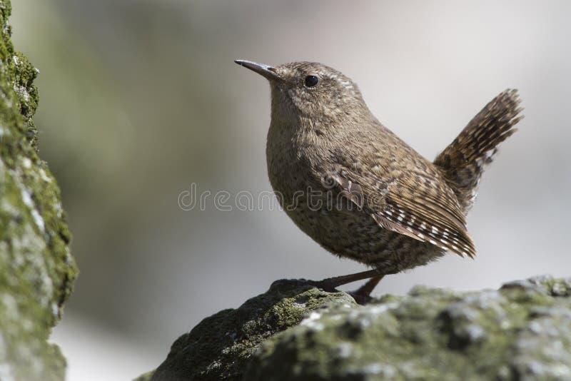 Männlicher WINTER-ZAUNKÖNIG, der auf den Felsen nahe seinem Nest auf einem Sommer sitzt stockfotos