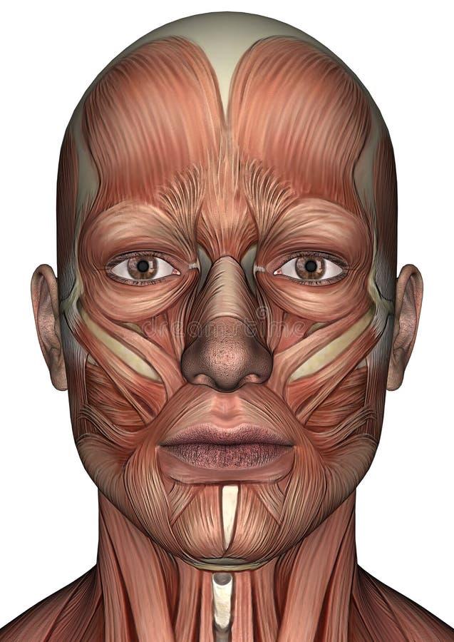 Männliches Anatomie-Gesicht vektor abbildung