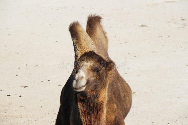Männliches Bactrian Kamel auf dem Sand lizenzfreie stockfotos