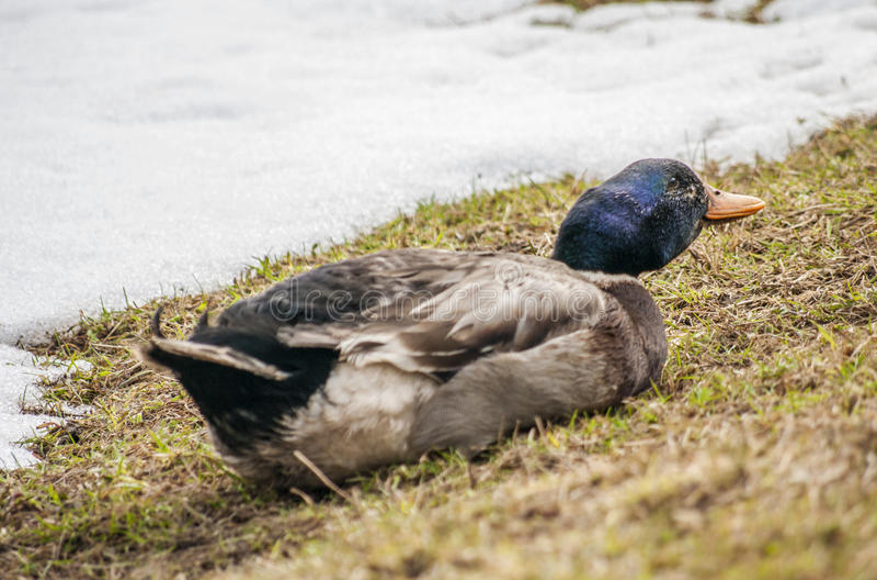 Männliches Duck Mallard stockfotografie