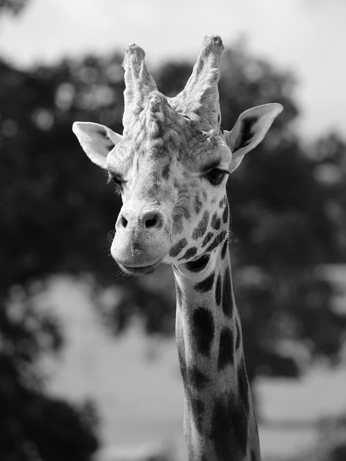 Männliches Giraffenporträt lizenzfreies stockfoto