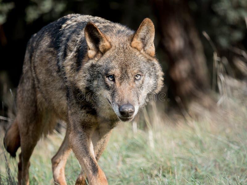 Männliches iberisches Wolf Canis Lupus signatus Anpirschen lizenzfreie stockbilder