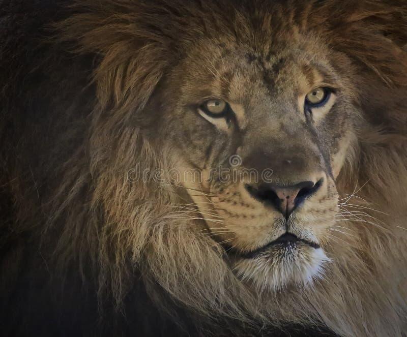 Männliches Löwekatzen-Gesichtsporträt lizenzfreie stockfotos