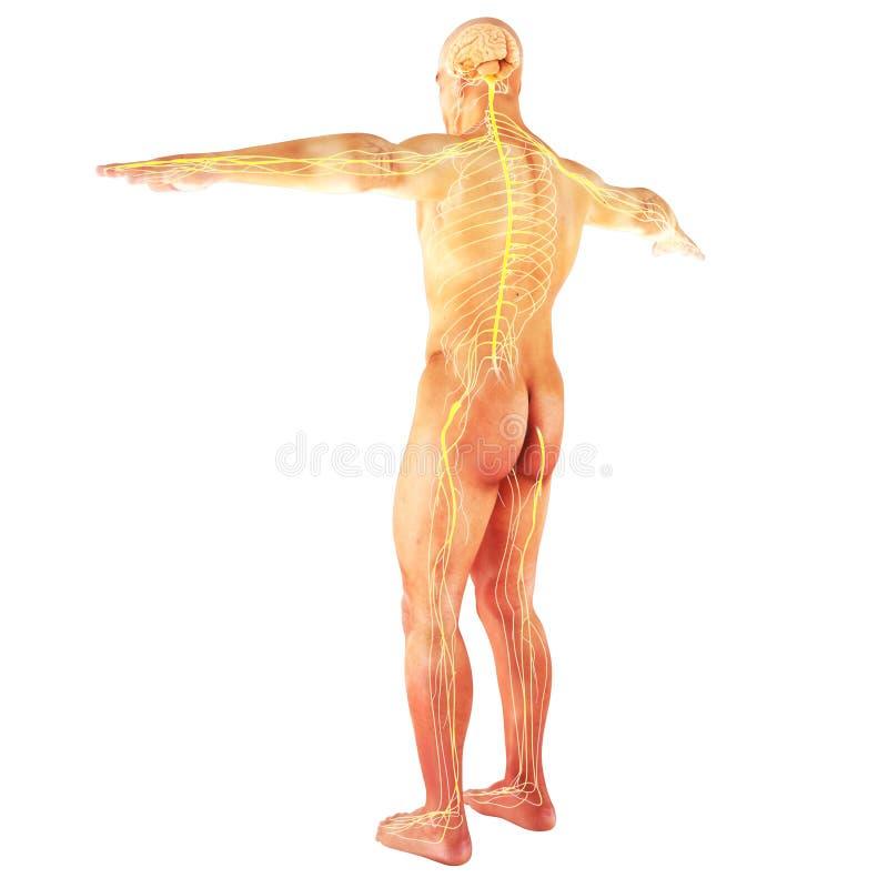 Männliches Menschliches Nervensystem Stock Abbildung - Illustration ...