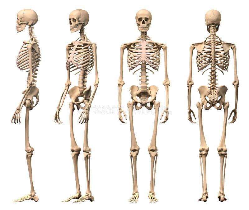 Männliches menschliches Skelett, vier Ansichten. lizenzfreie abbildung