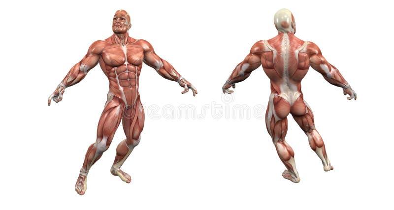 Männliches muskulöses System lizenzfreie abbildung