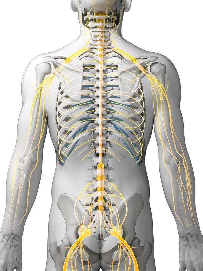 Männliches Nervensystem lizenzfreie abbildung