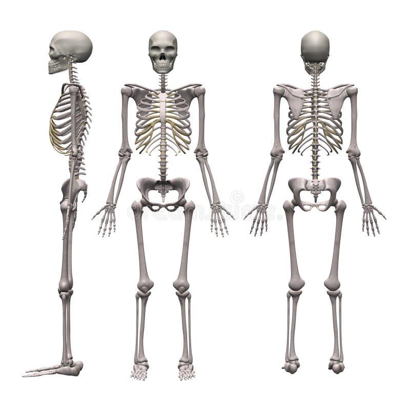 Männliches Skelett lizenzfreie abbildung