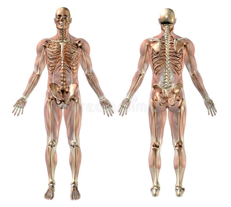 Männliches Skelett mit den Semi-transparent Muskeln lizenzfreie abbildung