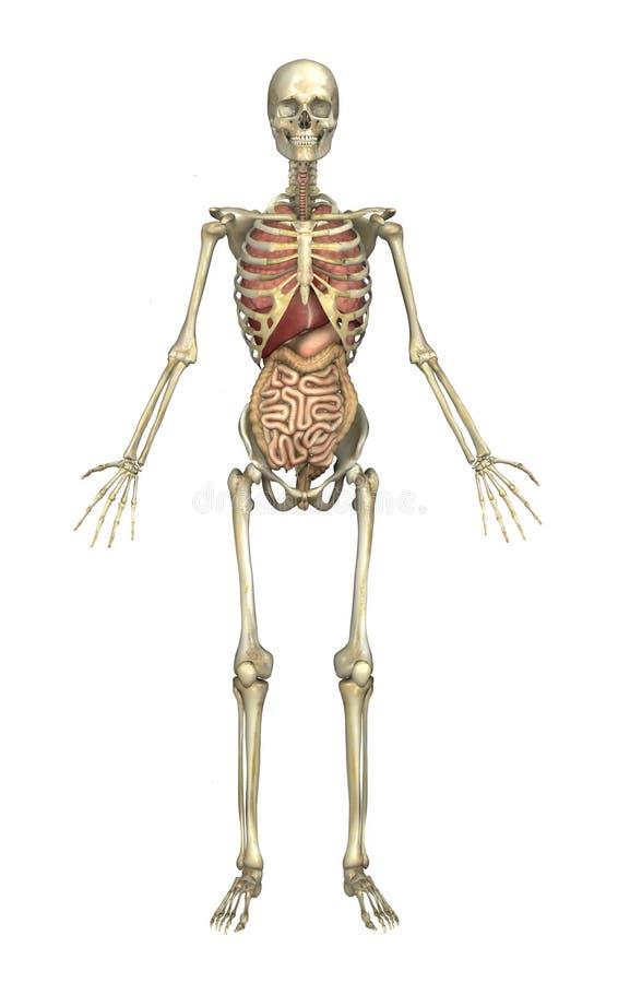 Männliches Skelett mit internen Organen lizenzfreie abbildung