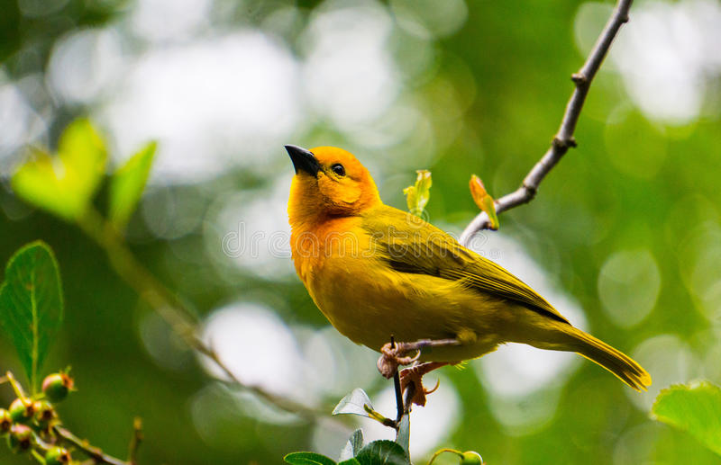 Männliches Taveta goldener Weaver Bird lizenzfreie stockfotografie