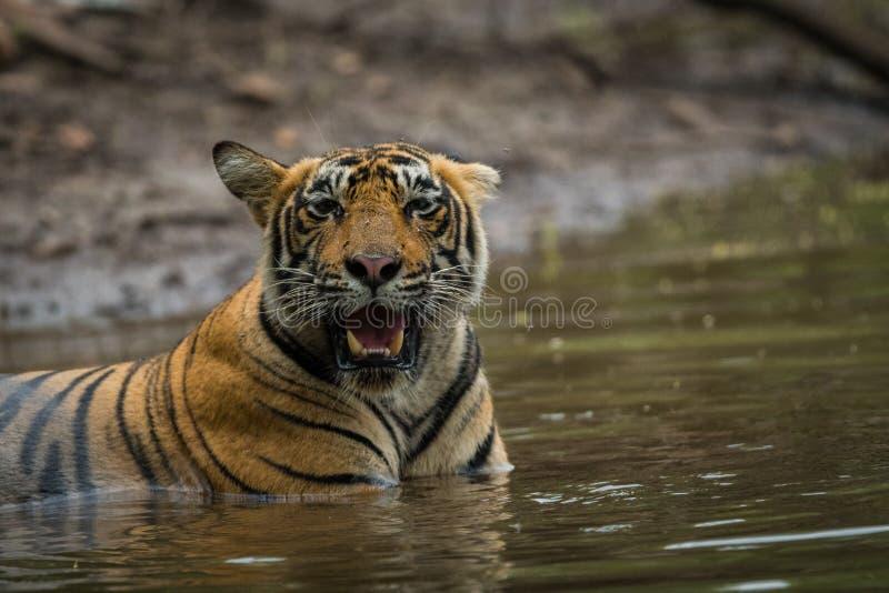 Männliches Tigerjunges, das im Seewasser bei Ranthambore Tiger Reserve, Indien sich entspannt lizenzfreies stockbild