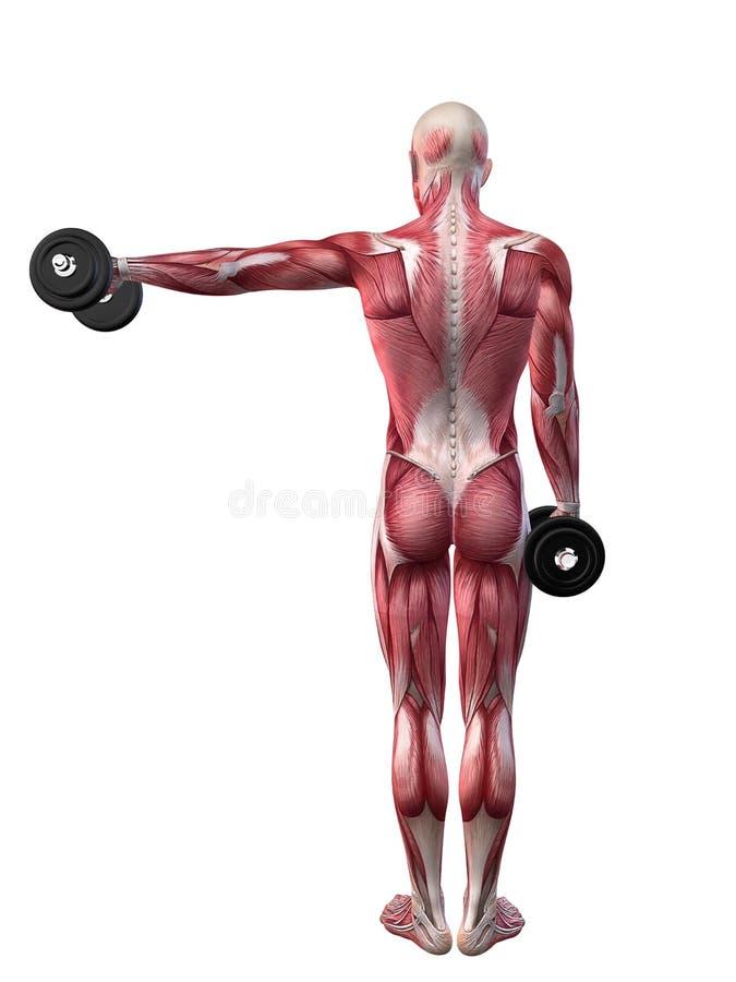 Männliches Training - Schulter-Training lizenzfreie abbildung