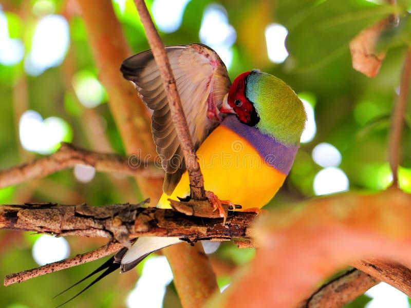 Männliches Vogelputzen Dame Gouldian Finch lizenzfreie stockfotografie