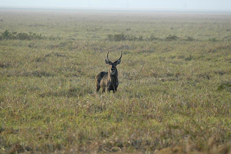 Männliches Waterbuck, Kobus ellipsiprymnus, Nationalpark Gorongosa, Mosambik lizenzfreie stockbilder