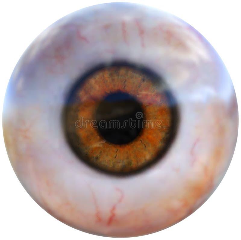Mänsklig ögonglob, ögonorgan som isoleras fotografering för bildbyråer