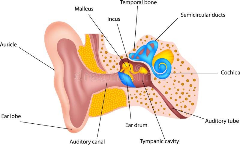 Mänsklig öraanatomi vektor illustrationer