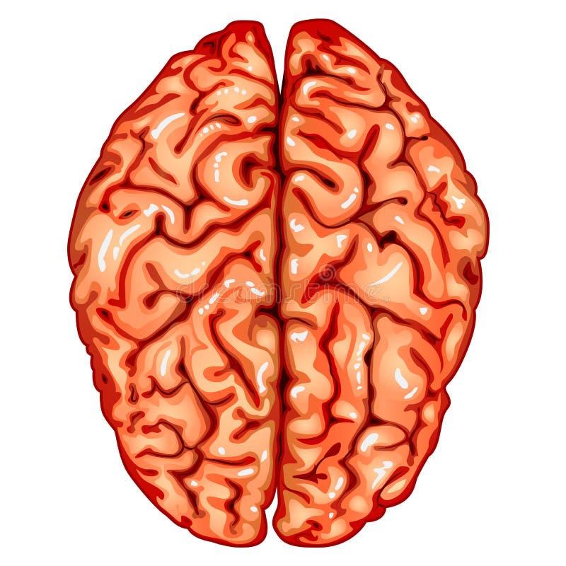 mänsklig övre sikt för hjärna royaltyfri illustrationer