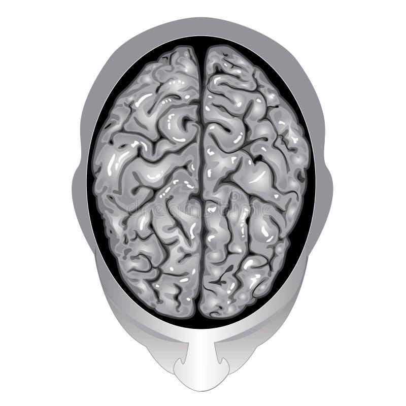 mänsklig övre sikt för hjärna stock illustrationer