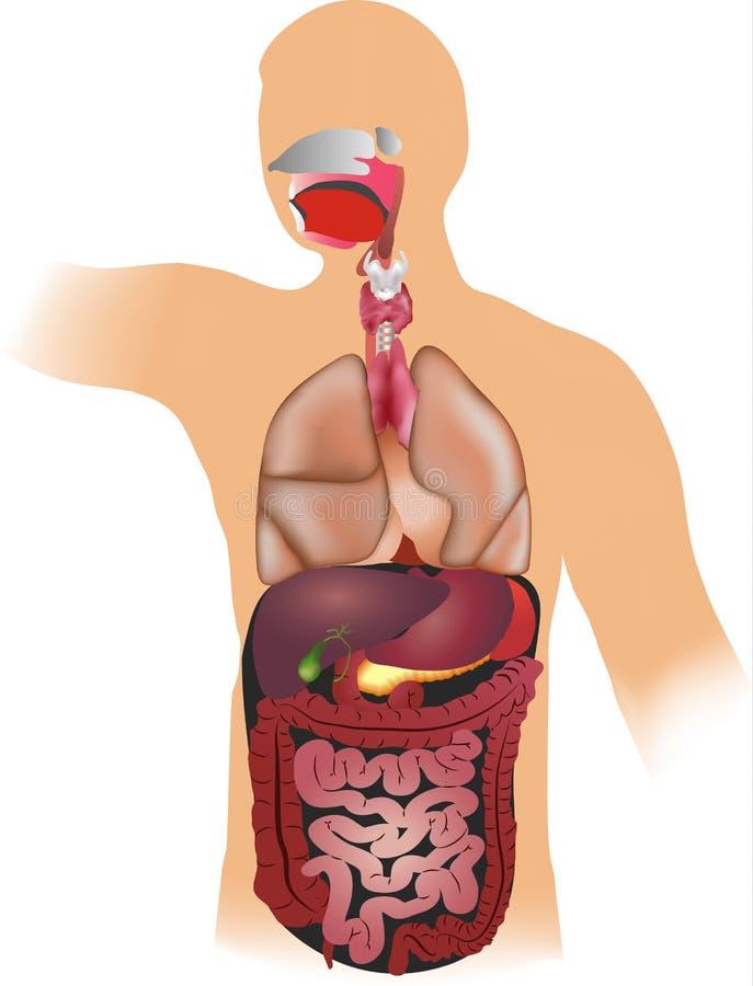 Mänsklig anatomi vektor illustrationer