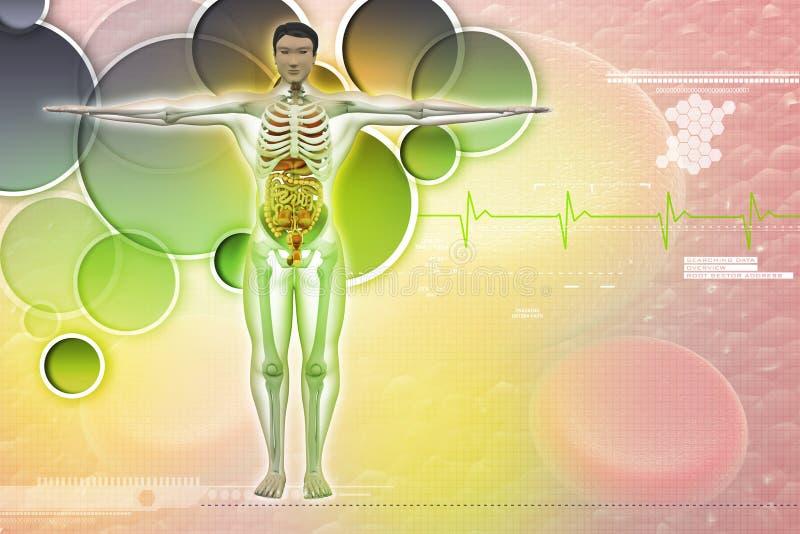 Mänsklig anatomi royaltyfri illustrationer