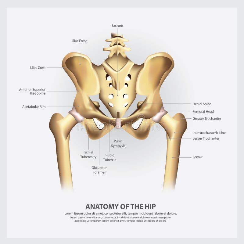 Mänsklig anatomi av höften stock illustrationer