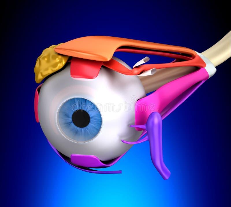 Mänsklig anatomi för ögonmuskler - tvärsnitt på blå bakgrund vektor illustrationer