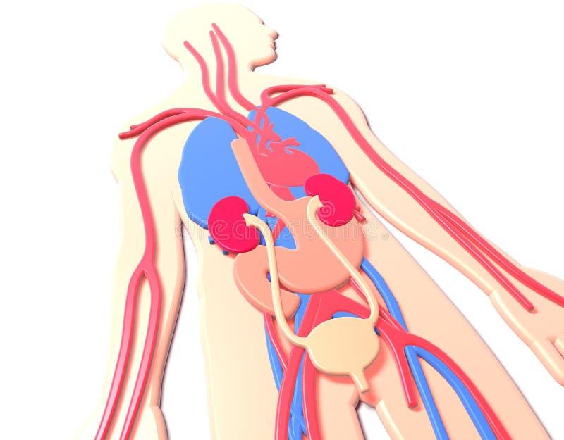 mänsklig anatomi för illustration som 3D göras i plast- som vilar på golvet stock illustrationer
