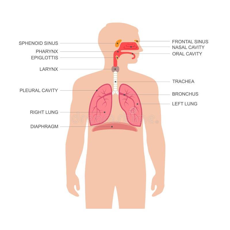 Mänsklig anatomi för respiratoriskt system stock illustrationer