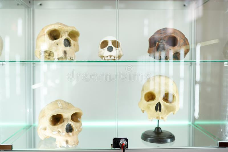 Mänsklig anatomi för skallar del av människokroppen på ljus bakgrund museum för medicinsk vetenskap arkivbilder