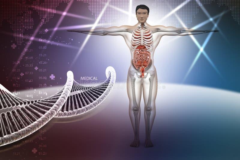 Mänsklig anatomi med dna vektor illustrationer