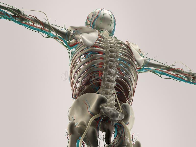 Mänsklig anatomidetalj av skuldran Benstruktur på vanlig studiobakgrund Mänsklig anatomidetalj av baksida, rygg muskel På vanligt royaltyfri illustrationer