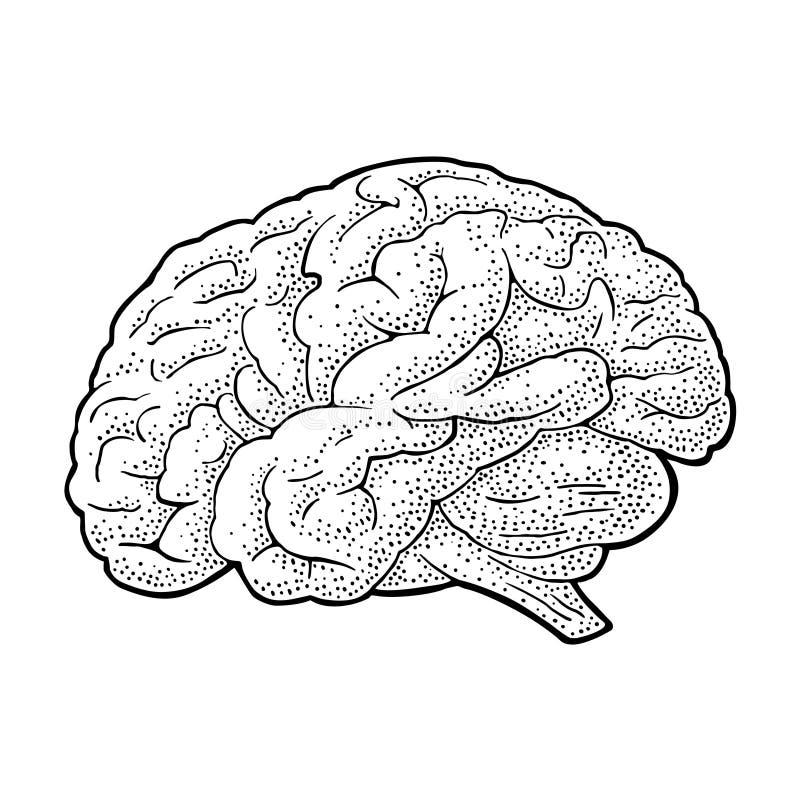 Mänsklig anatomihjärna För tappninggravyr för vektor svart illustration stock illustrationer