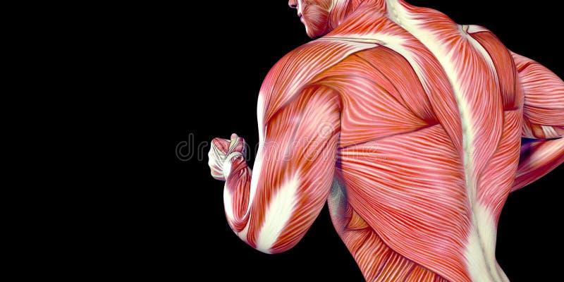 Mänsklig anatomiillustration för manlig kropp av en mänsklig spring med synliga muskler vektor illustrationer
