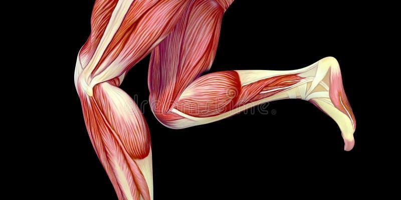 Mänsklig anatomiillustration för manlig kropp med synliga muskler vektor illustrationer
