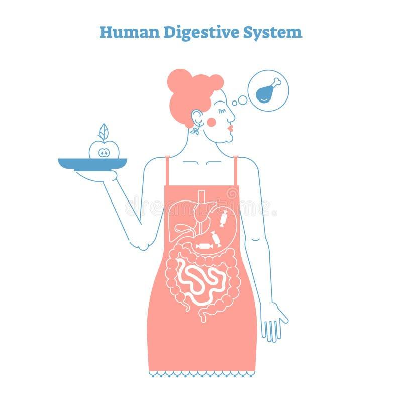 Mänsklig anatomisk linje konstnärlig vektorillustration för stil, medicinsk utbildningstvärsnittaffisch för digestivkexsystem royaltyfri illustrationer